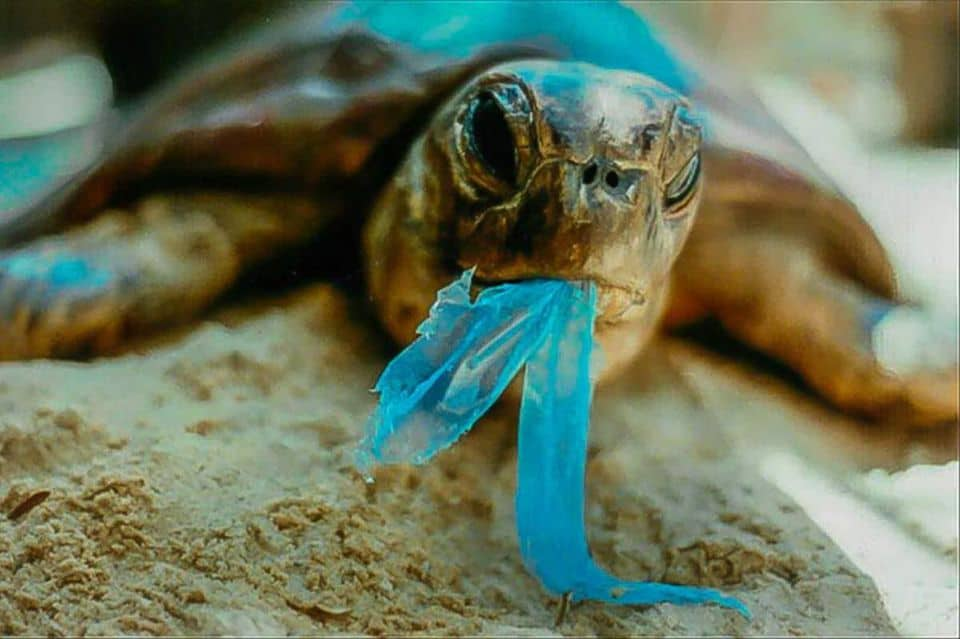 Seaturtle with a half-eaten plastic bag in its mouth. (Credit: Yamamoto Biology / Creative Commons.)